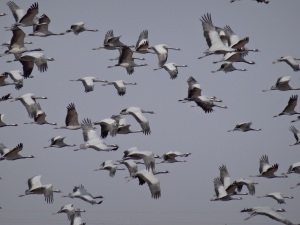 Cranes on the wing