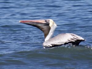 Pelican, Nicaragua
