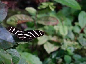 Mariposa, Nicaragua