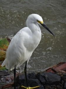 Egret, Nicaragua